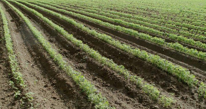campos-zanahorias